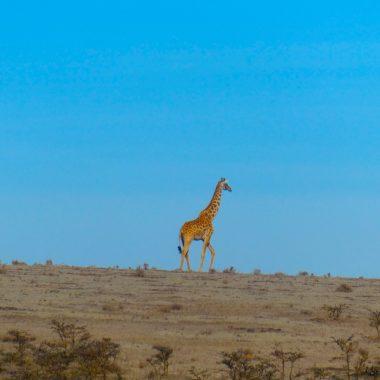 Giraf op afstand safari Tanzania