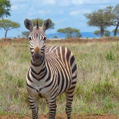 Zebra safari Tanzania