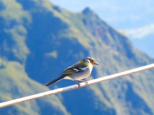 Vogeltje op de Pico Ruivo